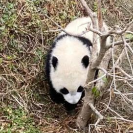 2020熊猫宝宝贺新春壁纸