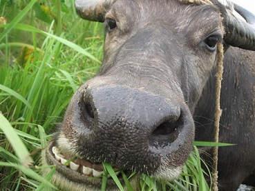老牛吃嫩草的表情包高清版